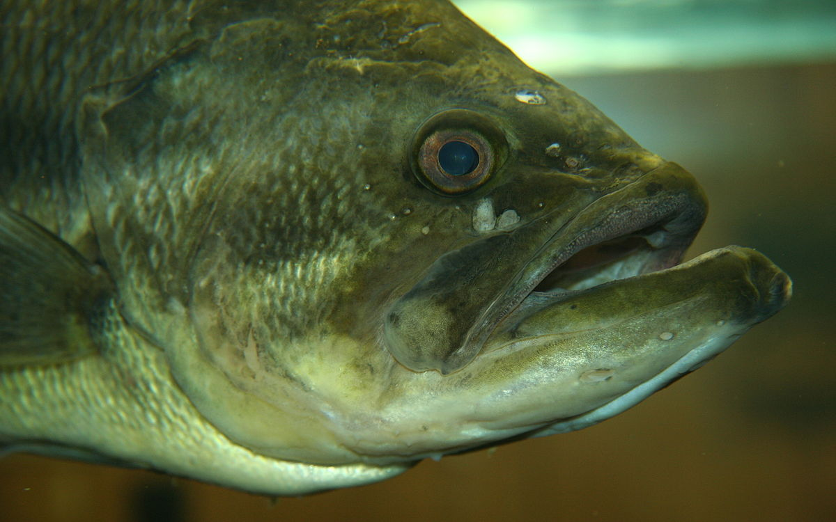 Large mouth bass pictures